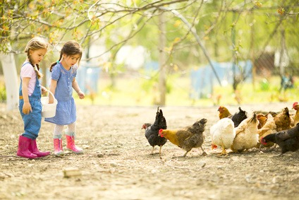 Little girls feeding chickens on a farm
