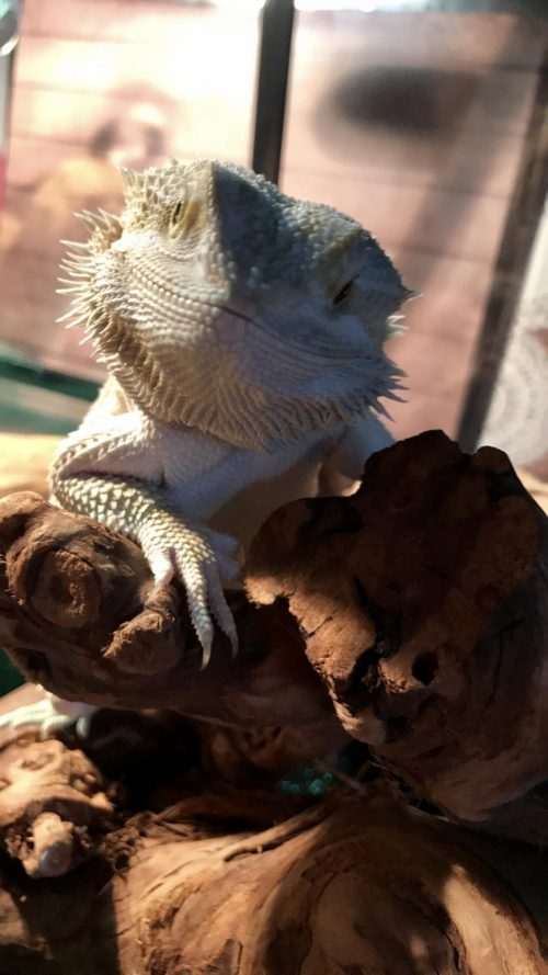 Pyro the Bearded Dragon